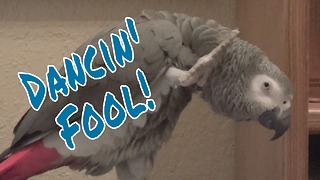 Einstein the Parrot is a dancing fool! - Video