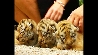 Tiger Cubs Keep Mom Busy - Video