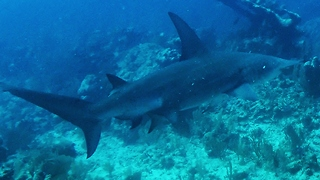 Fearless diver chases down hammerhead shark - Video