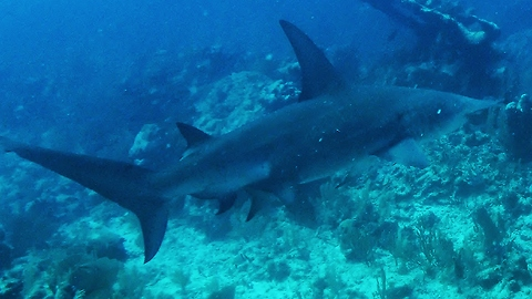 Fearless diver chases down hammerhead shark