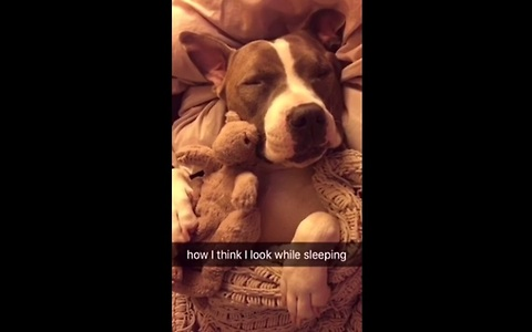 Sleeping Pit Bull hilariously compares expectations vs real life