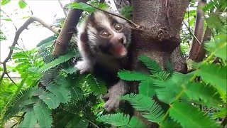 Slow Loris Learns to Climb - Video
