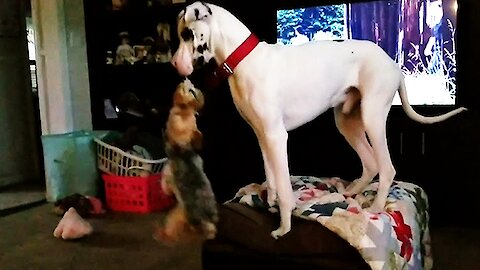 Great Dane climbs onto furniture to swing his little friend through the air