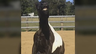 Horse sits like a dog  - Video