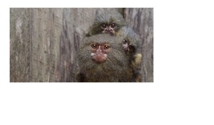 Pygmy Marmoset Family Reunited After Theft - Video