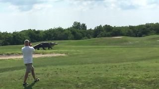 Giant Gator Walks Across Florida Golf Course Like On Runway