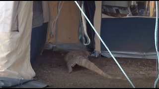 Massive Monitor Lizard Sneaks Into Unsuspecting Tourist's Tent