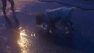 Dog enthusiastically plays in the sprinkler