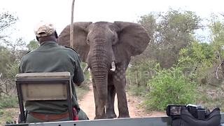 Safari tracker forced to push away curious elephant with stick - Video