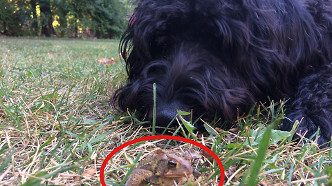 Toad and Labradoodle play the cutest game of tag!