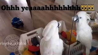 Musical Cockatoo Practices Her Vocal Exercises - Video