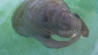 Adorable baby manatee doesn't know how to eat banana - Video