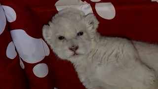 New White Lion Cub Born In Serbia - Video