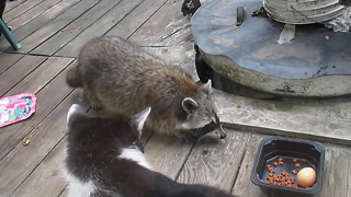 Talented dancing raccoon gets away with tasty treats