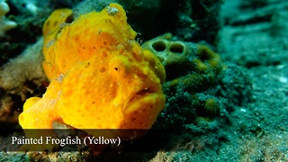 Rare footage of Warty Frogfish brilliantly hunting prey - Video