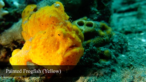 Rare footage of Warty Frogfish brilliantly hunting prey