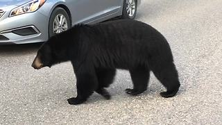 Black Bear Casually Strolls Alongside Cars Causing A Traffic Jam - Video