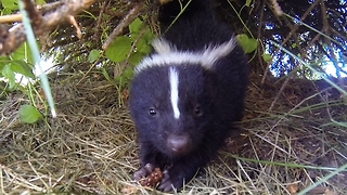 Man films wife close to skunk