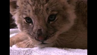 Cute Baby Lion Cubs - Video