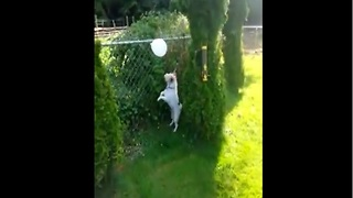 Jack Russell Terrier loves to play and pop balloons! - Video
