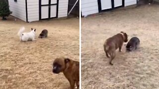 Pack of dogs lovingly play with new baby raccoon addition