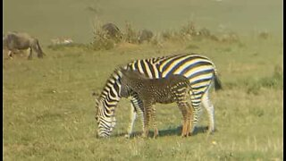 Zebra with spots filmed during safari in Kenya