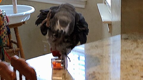 Parrot performs very skilled balancing act