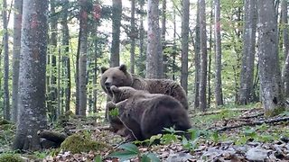 Adorable moment that mama bear and her three cubs get spooked