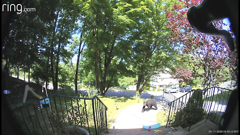 Doorbell security camera captures bear casually strolling through front yard