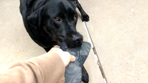 Labrador steals sandal, refuses to give it back