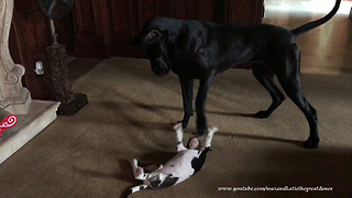Great Dane instinctively knows how to gently play with puppy