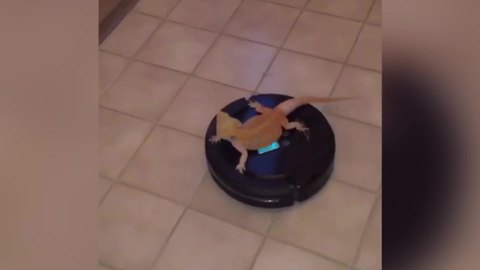 Bearded Dragon Lizard Rides On A Roomba Vacuum