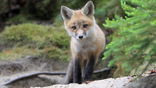 GoPro Captures Curious Fox Cubs Playing Together - Video