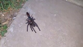 Sickening Moment Tarantula-Hunting Wasp Drags Paralysed Spider To Its Den