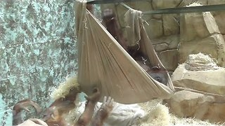 Crafty Orangutan Builds His Own Hammock - Video