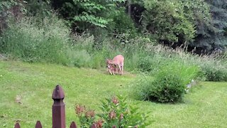 Newborn fawn's first feeding takes place in backyard