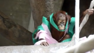 Three-Year-Old Orangutan Celebrates Her Birthday With Special Treats - Video
