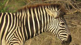 Bird perfectly demonstrates symbiotic relationship with zebra - Video