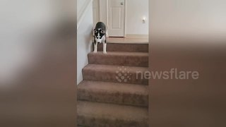 Husky puppy conquers fears to go down stairs for first time - Video