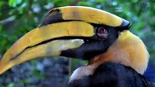 The great hornbill is a beautiful bird that builds itself a prison