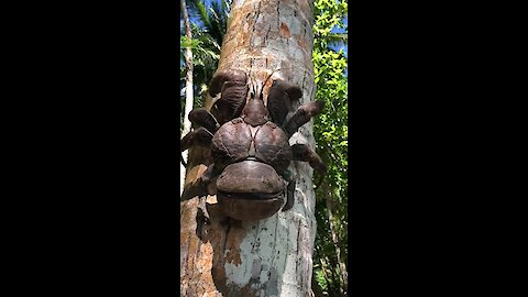 This massive coconut crab is actually only half-sized