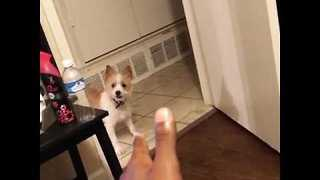 Cute Puppy Thinks Owner's Finger Is a Gun - Video