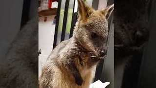 This Wallaby's Meditative State Puts Us All to Shame - Video