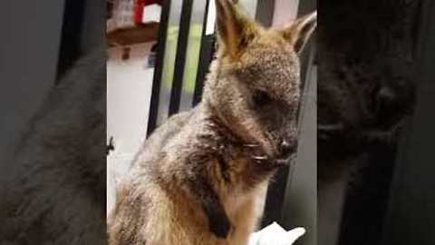 This Wallaby's Meditative State Puts Us All to Shame