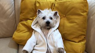 Westie chills out on couch while wearing robe