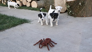 Jack Russell Pups Can't Figure Out If They Can Trust This Huge Robotic Spider
