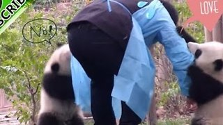 Adorable Panda Cubs Won't Let Their Nanny Go - Video