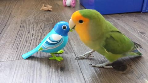 Curious parrot fascinated by mechanical bird