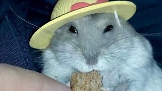 Fashionista Hamster Eats in Style
