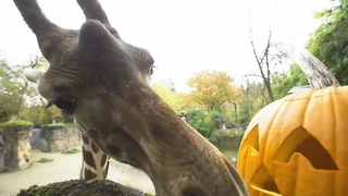 Black bears, giraffes and otters have a pumpkin party! - Video